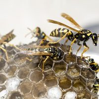 wasp nest removal in grays